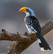 Yellow-billed hornbill (Tockus flavirostris) in Samburu National Reserve, Kenya.