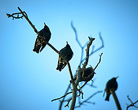 European Starlings in a tree at the Sourland Mountain Preserve. Image taken with a Nikon D300 camera and 80-400 mm VR lens (ISO 200, 400 mm, f/5.6, 1/1000 sec).