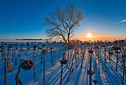 Sunrise and sunflowers in winter<br />Lorette<br />Manitoba<br />Canada