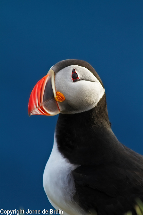 A puffin at sunset at the most western tip of Iceland.