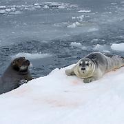 Bearded seal (Erignathus barbatus) mother and newborn pup on the edge of an open water lead. Beaufort Sea, Alaska