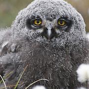 Snowy Owl (Bubo scandiacus) chick in cotton grass. Barrow, Alaska