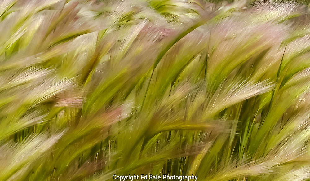 A late afternoon wind blowing across the Hart Mountain National Wildlife Refuge blows tall colorful grass sideways.