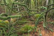Octopus tree (Didierea trollii)<br /> South Madagascar<br /> MADAGASCAR