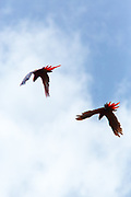 A pair of Scarlet Macaws (Ara macao cyanoptera) fly in the fading sunlight. Raspacullo river, Belize.
