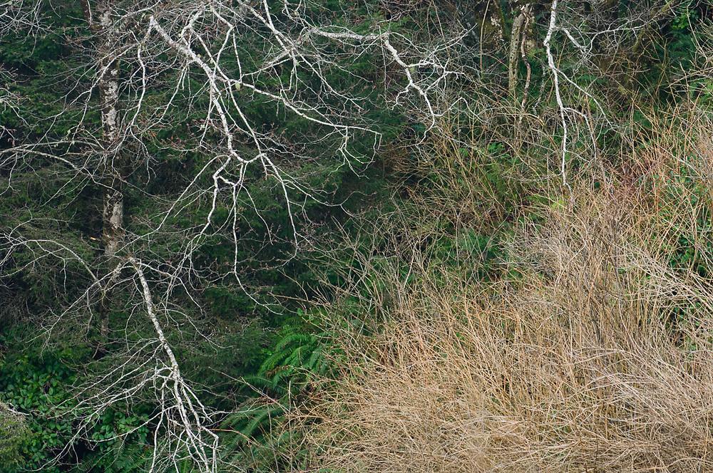 Pacific red alder branches (Alnus rubra), January, Pacific Ocean coastline, Olympic National Park, Washington, USA