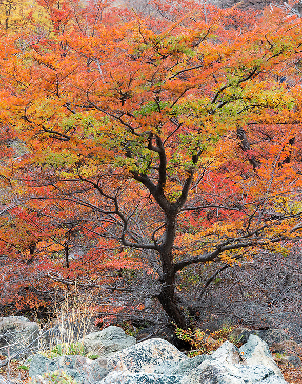 """Lenga tree in fall -  Patagonia, Argentina <br /> <br /> 11"""" x 14""""<br /> <br /> See Pricing page for more information.<br /> <br /> Please contact me for custom sizes and print options including canvas wraps, metal prints, assorted paper options, etc. <br /> <br /> I enjoy working with buyers to help them with all their home and commercial wall art needs."""