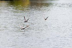 Ducks on Derwent Reservoir in the Peak National Park..http://www.pauldaviddrabble.co.uk.25 March 2012 .Image © Paul David Drabble