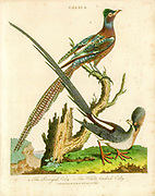 Colius The Senegal Coly (top) and the White-backed Coly. Handcolored copperplate engraving From the Encyclopaedia Londinensis or, Universal dictionary of arts, sciences, and literature; Volume IV;  Edited by Wilkes, John. Published in London in 1810