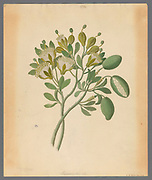 Capparis Nov. Sp. [Maerua caffra] (1817) from a collection of ' Drawings of plants collected at Cape Town ' by Clemenz Heinrich, Wehdemann, 1762-1835 Collected and drawn in the Cape Colony, South Africa