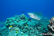 tiger shark, Galeocerdo cuvier, bluefin trevally or omilu, Caranx melampygus, and threadfin butterflyfish, Chaetodon auriga, Honokohau, Kona, Big Island, Hawaii, USA ( Central Pacific Ocean )