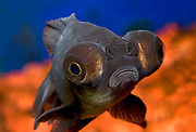 Close up of the face and huge protruding eyes of a black moor fish (Carassius auratus) in a cold freshwater aquarium in Norfolk