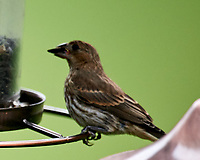 House Finch. Image taken with a Nikon D4 camera and 600 mm f/4 VR lens.
