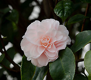 Camellia japonica 'Incarnata' a pale pink Camellia blooming in February in the conservatory at Chiswick House, Chiswick, London, UK