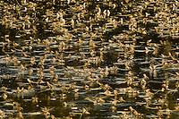 Mayfly swarming at the river Tisza, Hungary June