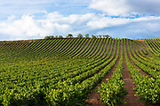 Rioja Vineyard on Ruta Del Vino wine route near Marques de Riscal in La Rioja-Alavesa area of Northern Spain RESERVED USE