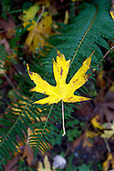A fallen Big Leaf Maple leaf (Acer macrophyllum) lands on a Sword Fern (Polystichum munitum) at Campbell Valley Park in Langley, British Columbia, Canada
