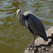 London,England,UK.9th April 2017. A Heron at St James Park, London,UK. by See Li