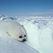 Harp Seal, (Pagophilus groenlandicus) Pup, called a white coat, resting on ice pack. Spring. Nova Scotia. Canada.
