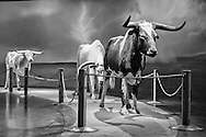 Cattle in the Fort Worth Museum of Science and History in Texas.