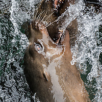 California Sea Lions (Zalophus californianus) on Fisherman's Wharf, Monterey, California. Photo by William Drumm.