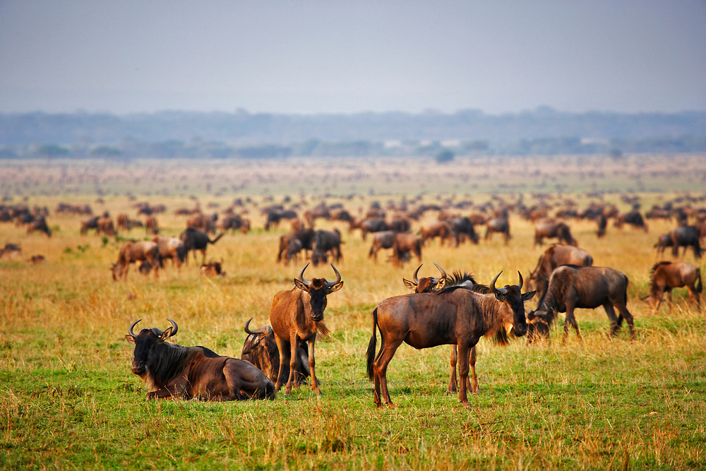 Herd of Cape Buffalo during the great migration, Serengeti National Park, Tanzania, Africa
