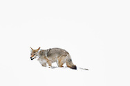 A coyote finishes eating a vole, only the vole's tail is sticking out of the coyote's mouth.