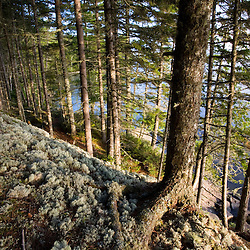 Reindeer lichen covers a boulder in a spruce forest on Sugar Island in Maine's Moosehead Lake.