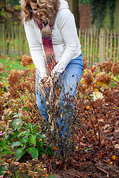 Digging up dahlia tubers from a border ready for cleaning then overwintering in a greenhouse