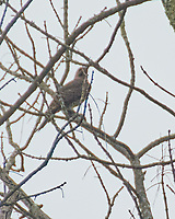 Northern Flicker. Sourland Mountain Preserve. Image taken with a Nikon 1 V3 camera and 70-300 mm VR lens.