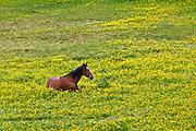 Dark bay Irish thoroughbred horse resting in buttercup meadow in County Cork, Ireland