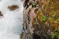 Broadleaf Arnica (Arnica latifolia) growing next to the Ohanapecosh River in Mount Rainier National Park in Washington State, USA.