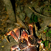 Endangered red adult coconut crab (Birgus latro). Chumbe Island Coral Park, Zanzibar, Tanzania is an internationally-awarded eco-resort and the first private, not-for-profit marine preserve in the world.