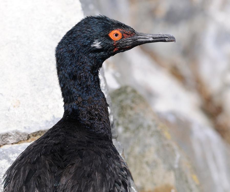 A Rock Shag (Phalacrocorax magellanicus) at its nest  in rocky outcrops in the Beagle Channel. Ushuaia, Argentina. 13Feb16