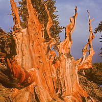 Sunset lights the weathered trunks of an ancient Bristlecone Pine in California's White Mountains.  Bristleones are earth's oldest living trees and this one might be up to 4,000 years old.
