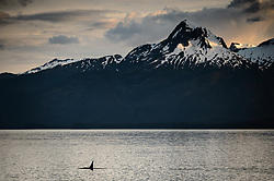 A killer whale or orca (Orcinus orca), travels down the Lynn Canal under the shadow of Nun Mountain at sunset. Nun Mountain is near Juneau in southeast Alaska. <br /> <br /> Orcas are an apex species. Their prey depends on if they are local or transient. Local orcas feed primarily on salmon. While transient orcas feed on small marine mammals such as sea lions, seals, porpoises, and the calves of whales.