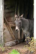 Traditional lakeland donkey  in the Lake District National Park, Cumbria, UK