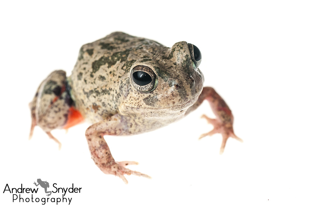 Colombian four-eyed frog, Pleurodema brachyops, Yupukari, Guyana, July, 2013
