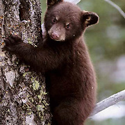 Black Bear, (Ursus americanus) Cub clinging to tree trunk. Spring. Montana.  Captive Animal.