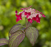 A hydrangea blossoming. (Mike Siegel / The Seattle Times)