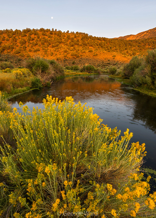 Gray Rabbitbrush, Moon and the East Walker River at Dawn, Toiyabe National Forest, Mono County, California