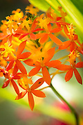 Orchids, Mount Hagen, Western Highlands Province, Papua New Guinea