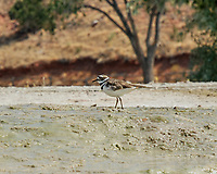 Killdeer. Hot Spring State Park. Image taken with a Nikon D200 camera and 80-400 mm VR lens.