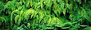 MEXICO, GULF COAST, VERACRUZ STATE A wall of ferns indicates the tropical jungle found in the coastal mountains near Jalapa (Xalapa)