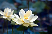 American lotus opening at first sunlight.