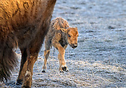 A recently born bison calf stays close to its mother on a cold and frosty spring day in Yellowstone National Park, Wyoming.  The calf's red umbilical cord can be seen between its legs.