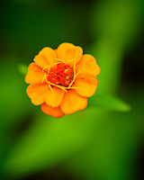 Orange Zinnia flower. Image taken with a Fuji X-T3 camera and 80 mm f/2.8 OIS macro lens