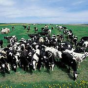 Cows, herd of Holstein dairy cows in field.