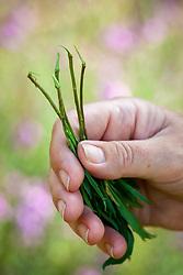 Taking heel cuttings from perennial wallflowers - erysimums.