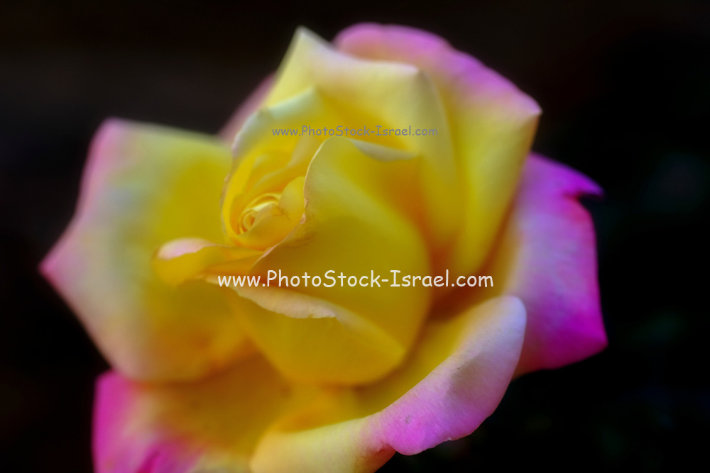 Close up of a variegated yellow and pink rose flower